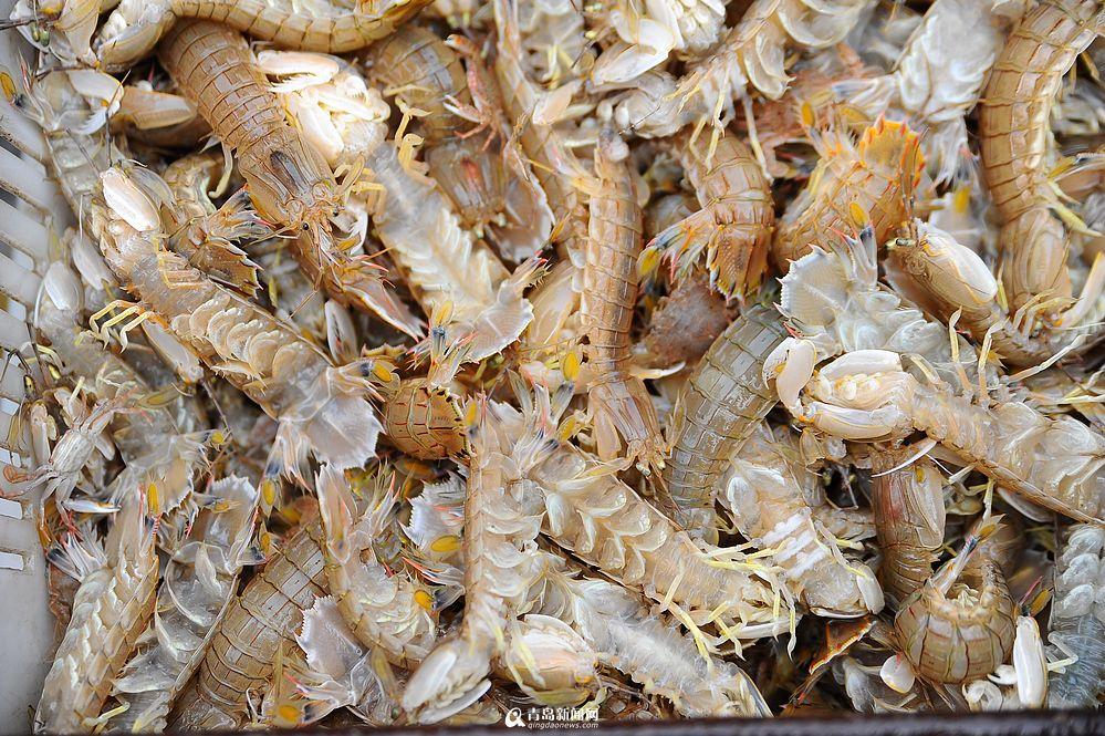 贝尔老婆图片_高清:青山渔港虾虎丰收 渔船一靠岸就遭抢购 - 青岛新闻网