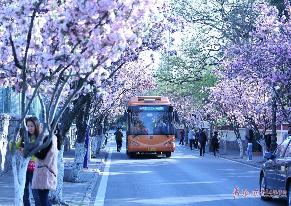 高清:穿过春天的公交 青岛最美公交站海棠怒放