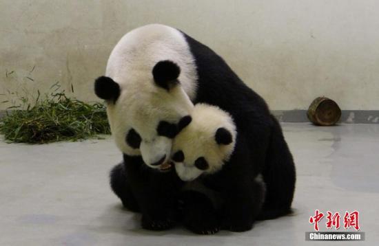 台北动物园:赠台大熊猫圆圆确定未成功怀孕
