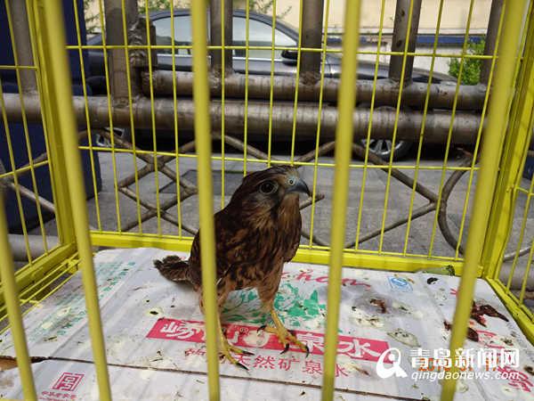 国家二级保护动物红隼幼鸟