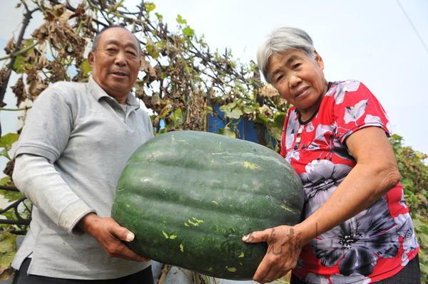 胶州老夫妻种出51斤大冬瓜,12人同飨冬瓜宴