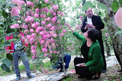 果园呈现苹果墙 老苹果树一枝挂满211个果(图)