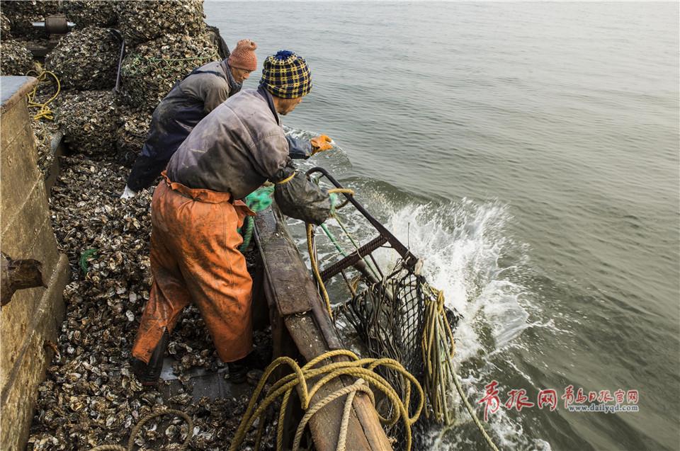 组图:凌晨4点 实拍青岛渔民挖海蛎子全过程