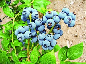 41个农产品品牌市民最爱 胶州大白菜等上榜