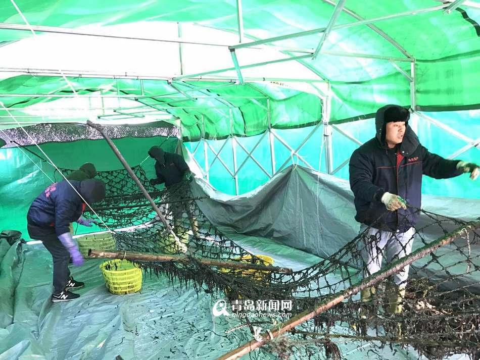 高清:崂山湾条斑紫菜丰收 逐渐进入市民餐桌