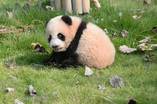 上海野生动物园熊猫母子