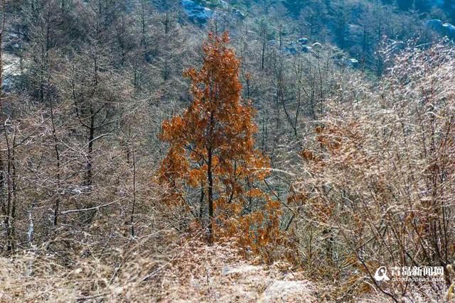 高清:崂山雪后现奇幻圣境 雪树银花千姿百态