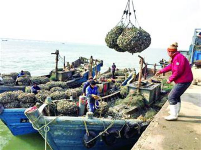今年红岛海蛎子个个肥 有养殖户纯收入超百万