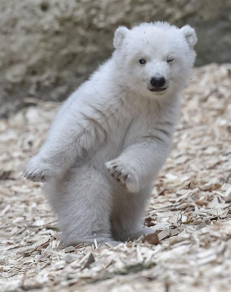 小北极熊天生镜头感十足