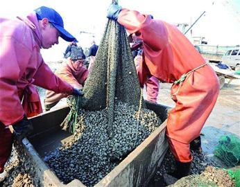 壳薄肉肥汤汁浓 胶州湾蛤蜊叫响全国
