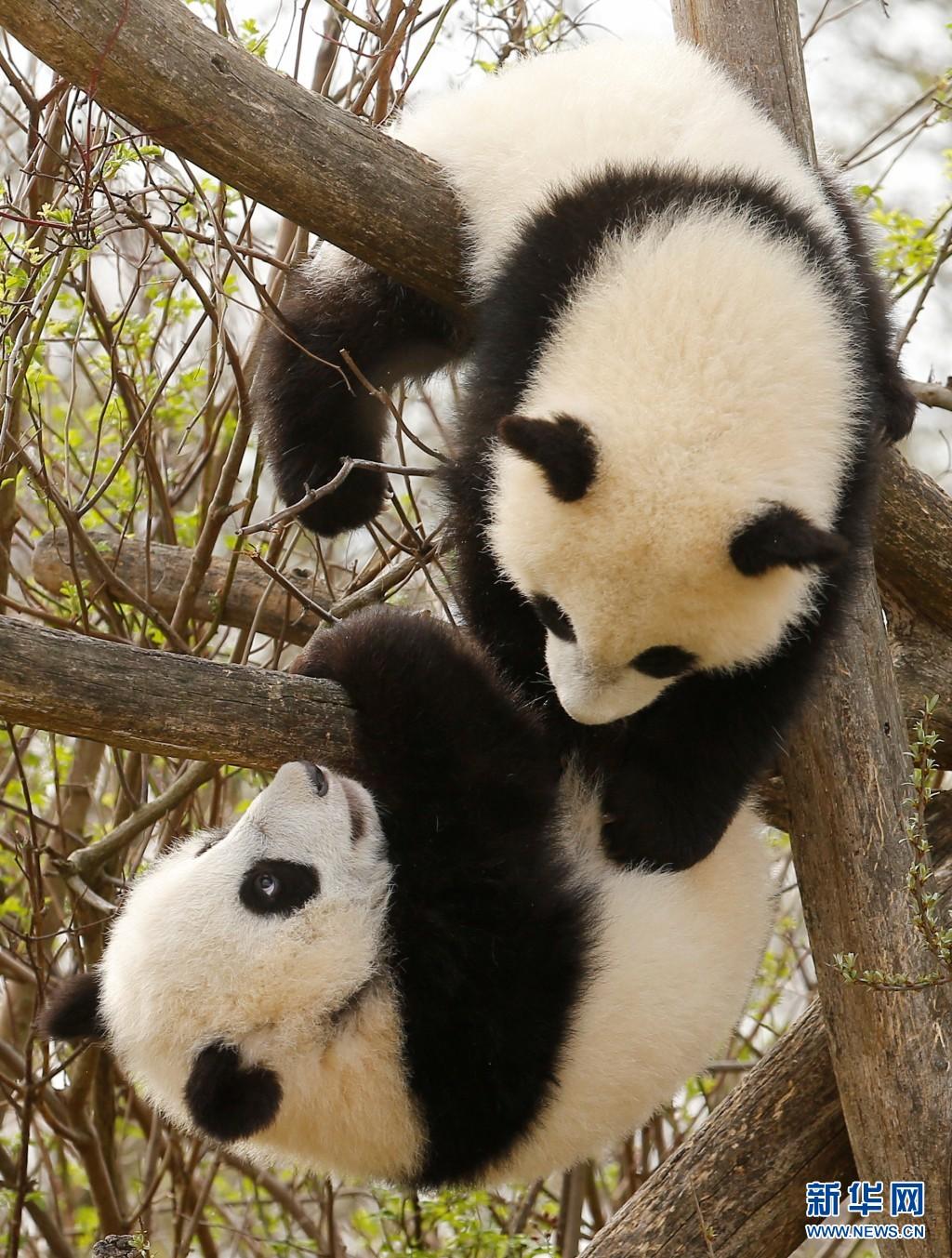 奥地利双胞胎大熊猫宝宝亮相 动作亲昵感情好