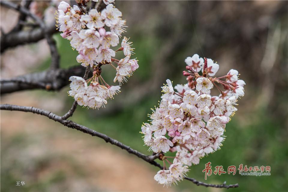 北宅樱桃花遍布山野 如纱似雪仿若世外桃源