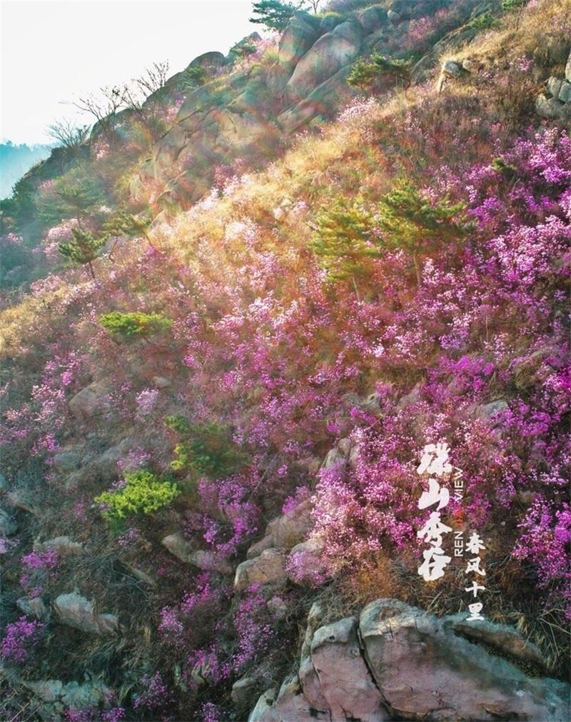 春来飞红大珠山 万亩杜鹃花海奇丽壮观 - 青岛新闻网