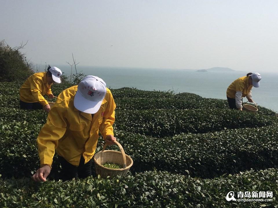 尝鲜喽!崂山大田茶上市 头茬极品每斤8000元