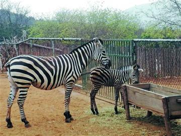 青岛森林野生动物园传喜讯 小斑马降生五一见客