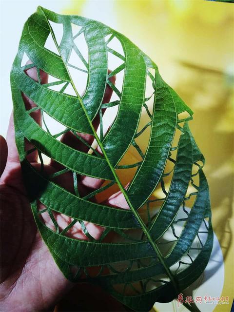 一叶一世界 青岛网友绿叶上雕出一个春天(图)
