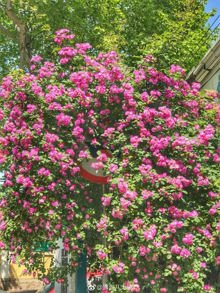速来拍美照!青岛蔷薇颜值爆表错过再等一年