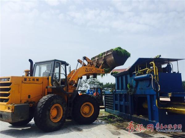 青岛已清理浒苔超1.7万吨 陆上利用率或达100%