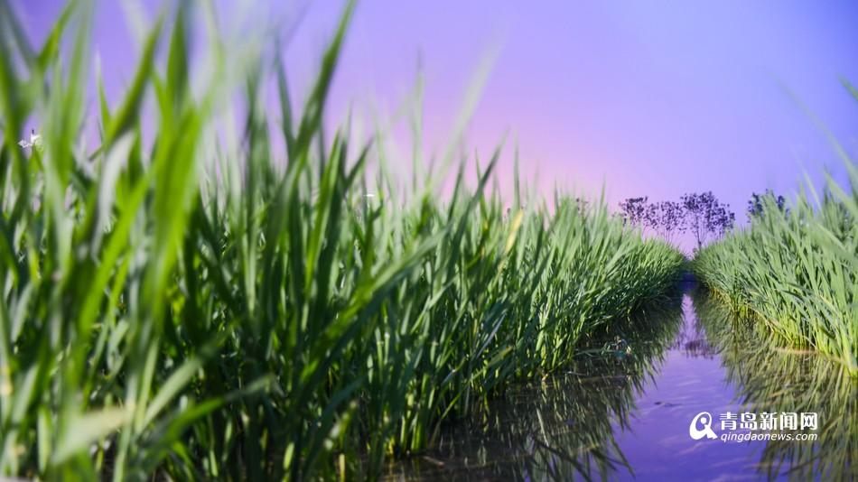 青岛海水稻长势喜人 10月丰收市民可尝鲜