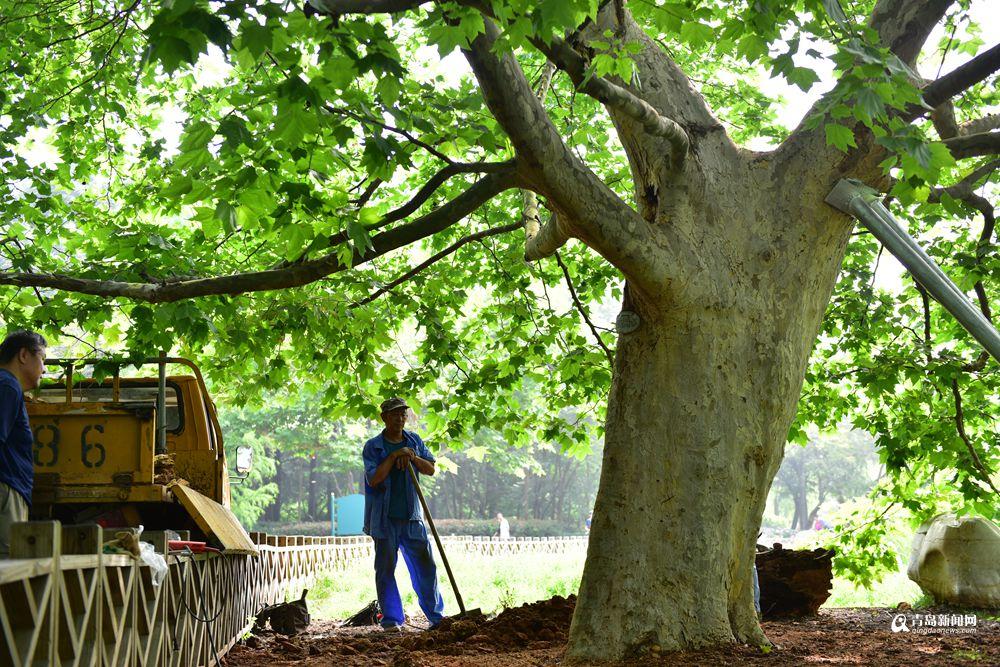 高清:再现树坚强 中山公园百年老树手术成功