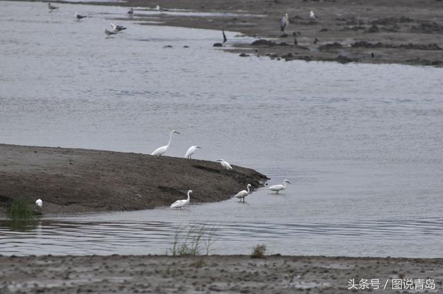 青岛入海口湿地再迎稀客 黄嘴白鹭现身