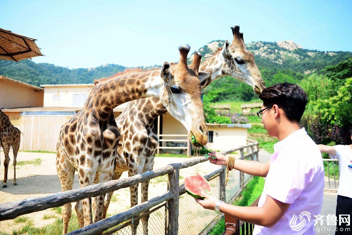 2017年7月29日,山东青岛森林野生动物世界,一位管理人员在给长颈鹿