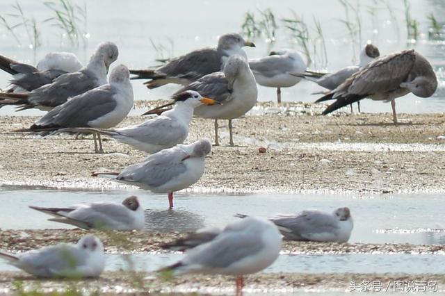 大批鸥鸟迁回胶州湾湿地 惊现世界级濒危候鸟