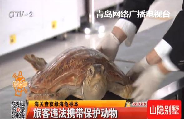 http://news.qingdaonews.com/images/attachement/png/site1/20160223/485d60dc3ea01836278a5d.png /enpproperty-->    青岛大港海关近日查获一起非法走私国际二级保护动物绿海龟的违法行为。 在对来自日本进境旅客的行李检查时,工作人员发现,一名中国籍女性旅客,携带的行李出现了异常。 开箱检验,居然发现了两只海龟标本,后经专业机构检测,该标本为绿海龟,是国际二级保护动物,旅客擅自携带进出境属于违法行为。因为