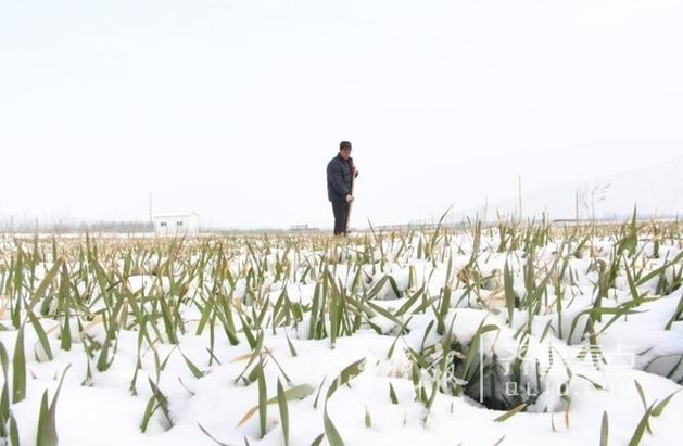 即墨草莓大棚积雪10多厘米 小麦或遭受冻害